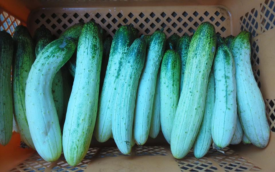 江戸伝統野菜「半白きゅうり」